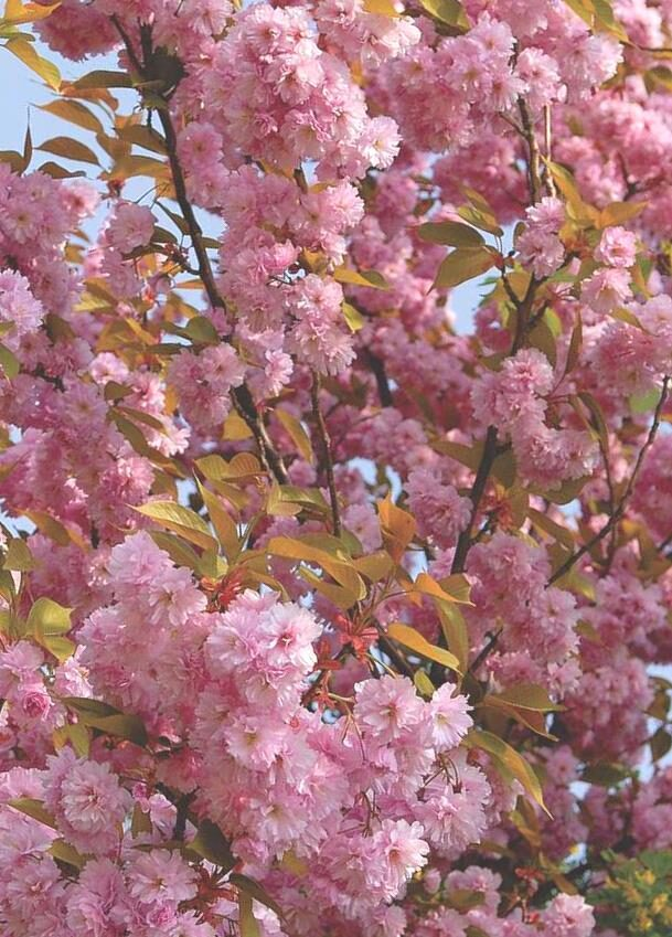 Ķirsis Japānas (Sakura) Kanzan /Prunus serrulata Kanzan/