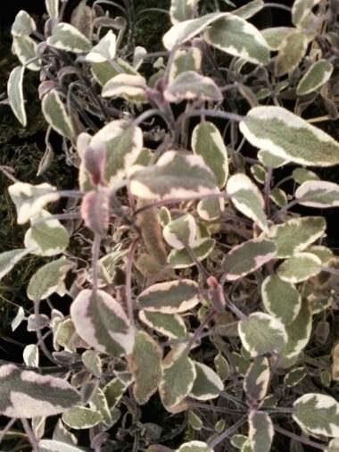Salvija Variegata /Salvia officinalis Variegata/