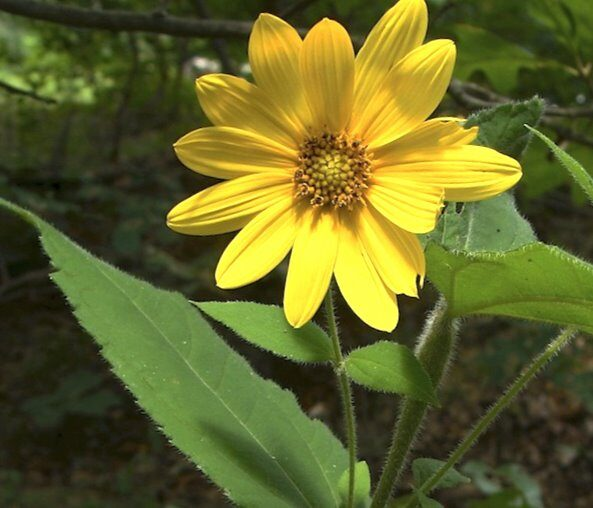 Saulespuķe (saulgrieze) matainā /Helianthus hirsutus/