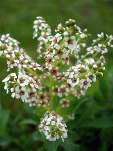 Sibireja Altaja /Sibiraea altaiensis/