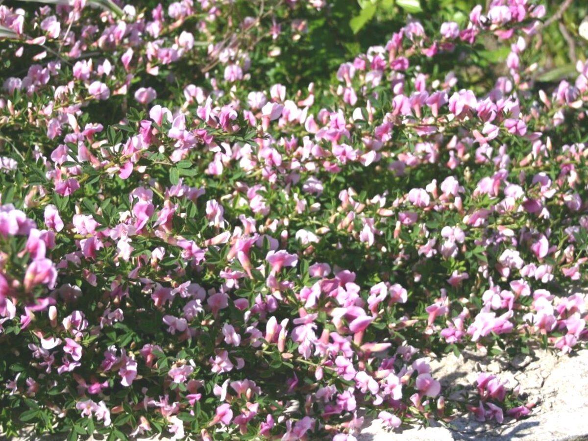 Slotzars purpura /Cytisus purpureus/