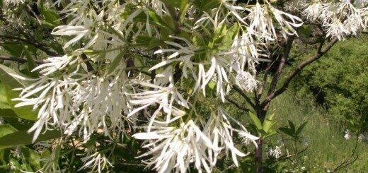 Sniegpārsliņu koks /Chionanthus virginicus/