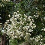 Sofora Japānas /Sophora Japonica/