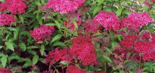 Spireja Japānas Anthony Waterer /Spiraea japonica Anthony Waterer/
