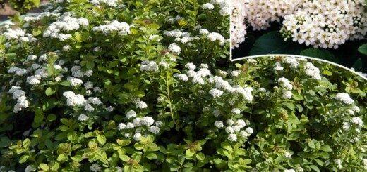 Spireja Bērzlapu /Spiraea betulifolia/