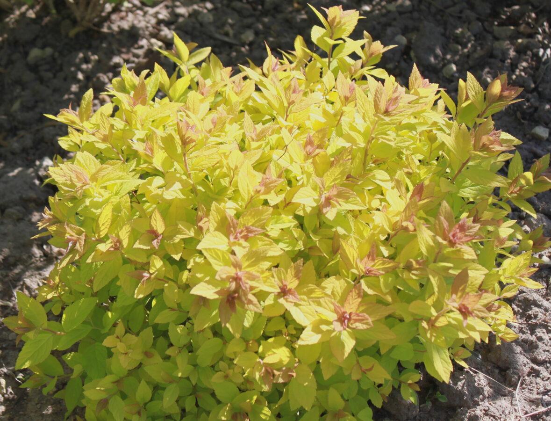Spireja japānas Golden Carpet /Spiraea japonica Golden Carpet/