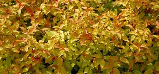 Spireja Japānas Goldflame /Spiraea japonicaGoldflame/