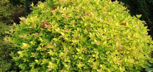 Spireja Japānas Gold Mound /Spiraea japonica Gold Mound/