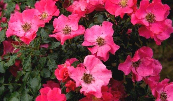 Klājeniskā Roze Stadt Rom /Rosa/