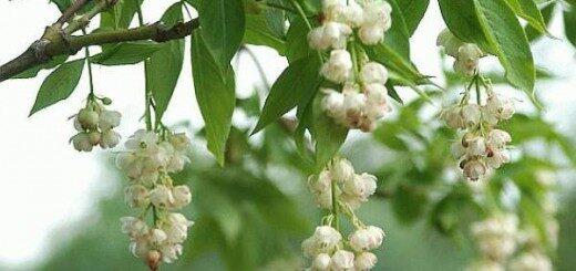 Stafileja plūksnlapu /Staphylea pinnata/