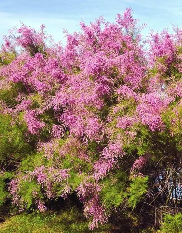 Tamarikss sazarotais /Tamarix ramosissima/
