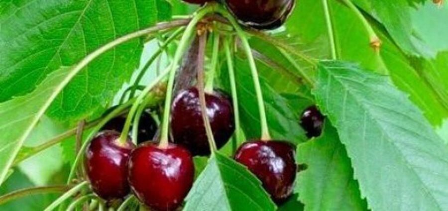 Ķirsis Saldais Ovstuženko  /Prunus avium/