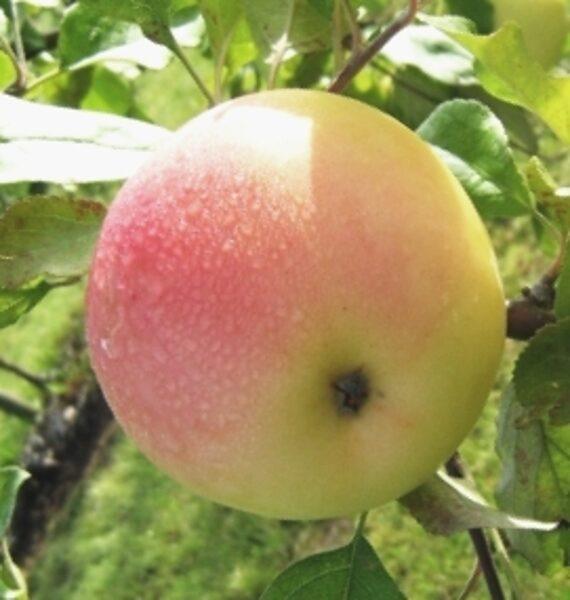 Apple Tree Atvasara /Malus/