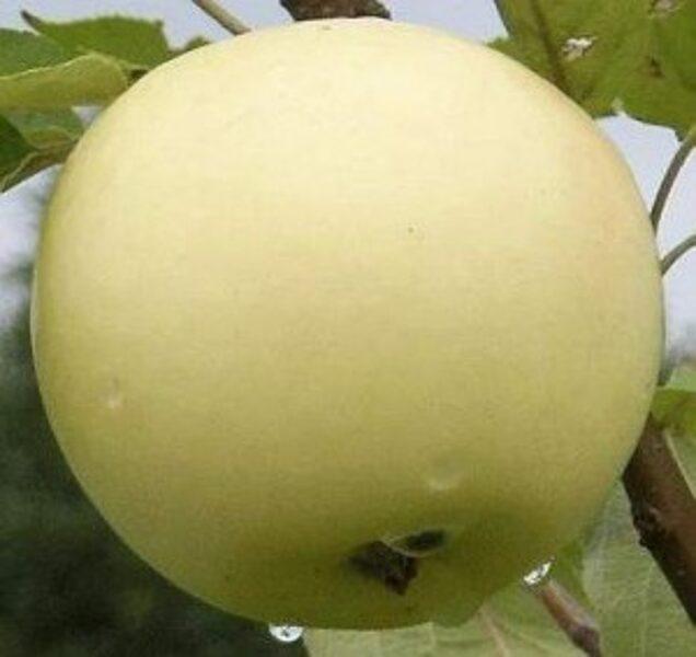 Apple Tree White Transparent /Malus/