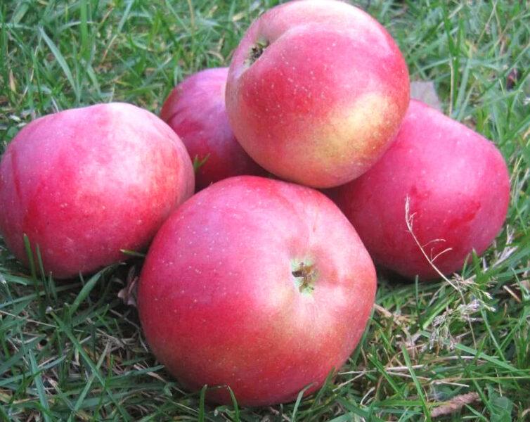 Apple Tree Belorusskoje Maļinovoje