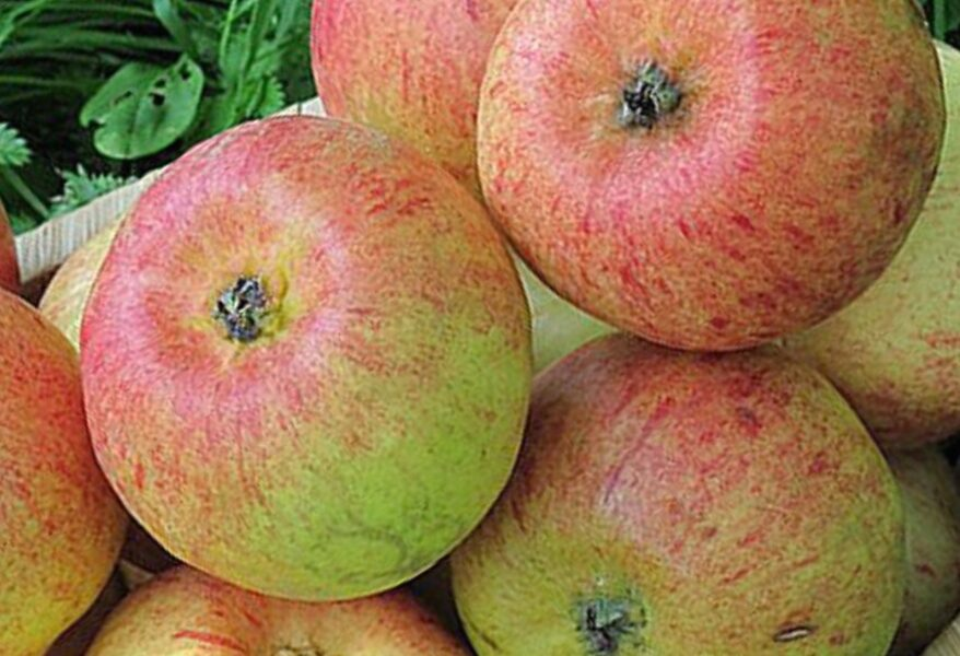 Apple Tree Cukuriņš /Malus/