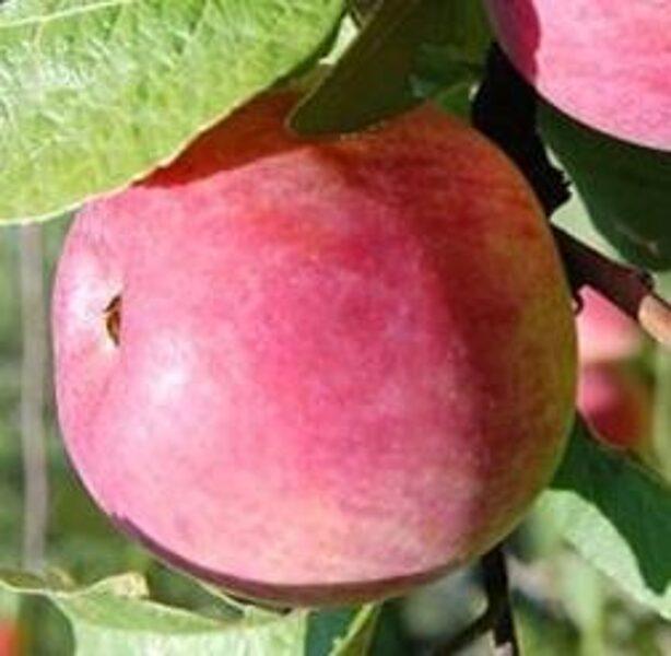 Apple Tree Cortland /Malus/