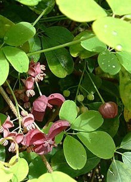 Akēbija pieclapu (piecstarainā) /Akebia quinata/