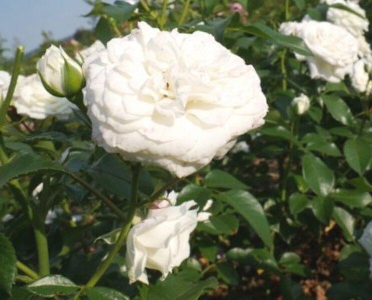 Floribundroze Alabaster /Rosa/