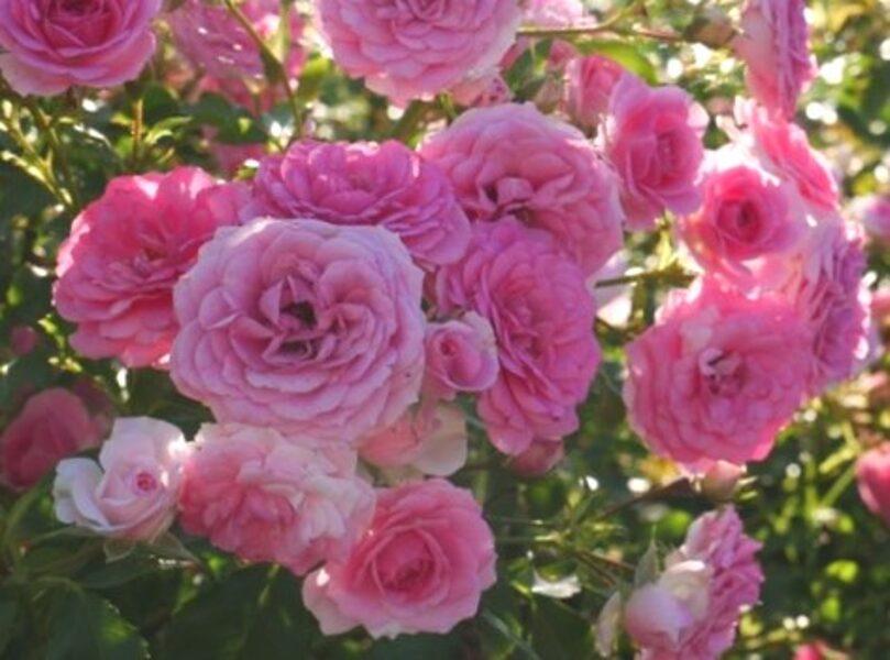 Klājeniskā Roze Amica /Rosa/