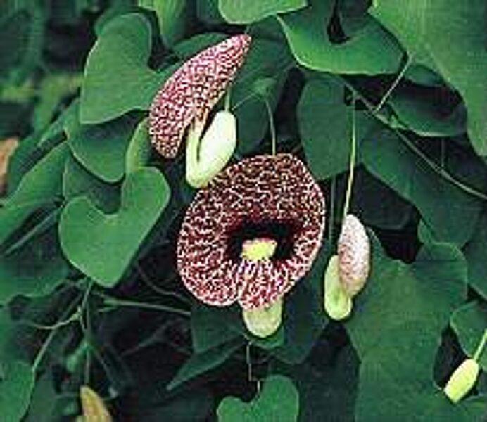 Aristolohija Liellapu / pīpjukoks /Aristolochia macrophylla syn. Aristolochia durior/