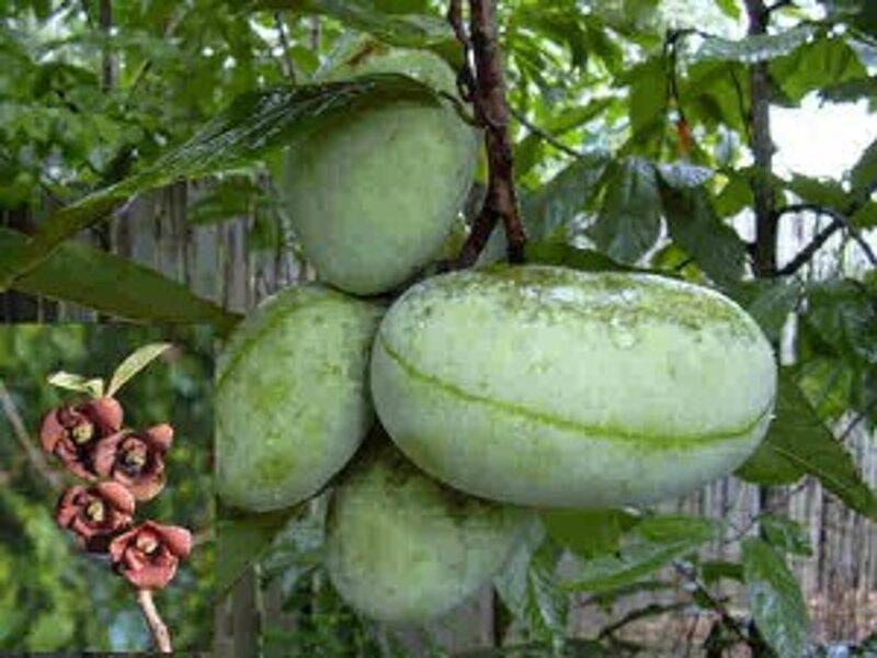 Asimina trīsdaivu (indiāņu banāns) /Asimina triloba/