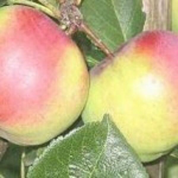 Apple Tree Auksis /Malus/