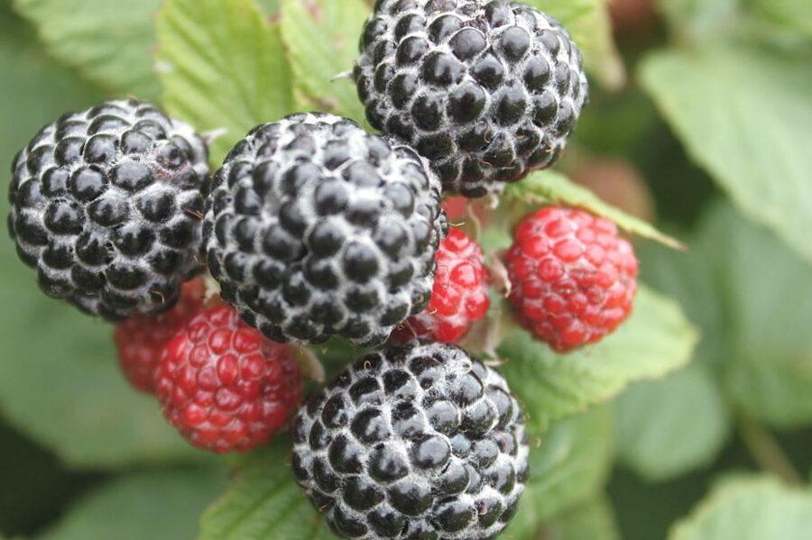 Avene melnā /Rubus occidentalis/