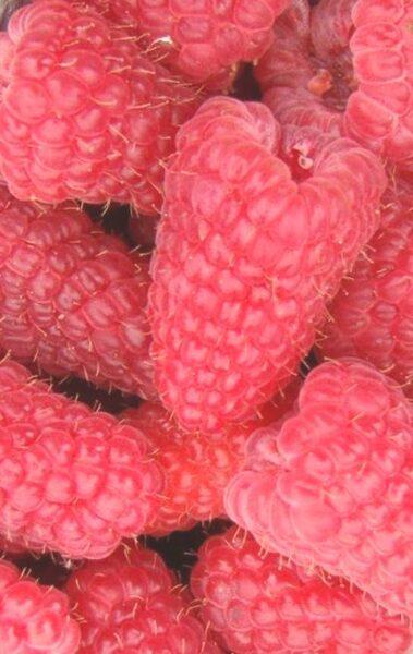 Avenes Laska /Rubus idaeus/