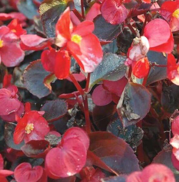 Begonijas ilgziedīgās jeb leduspuķes  /Begonia semperflorens/