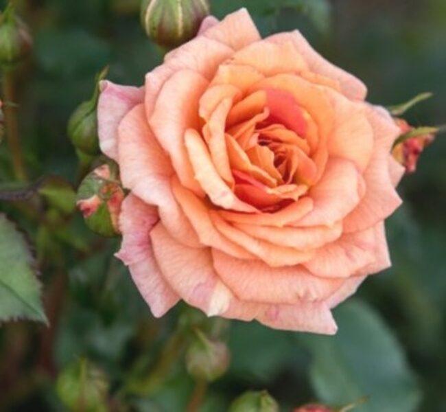 Floribundroze Bentheimer Gold /Rosa/