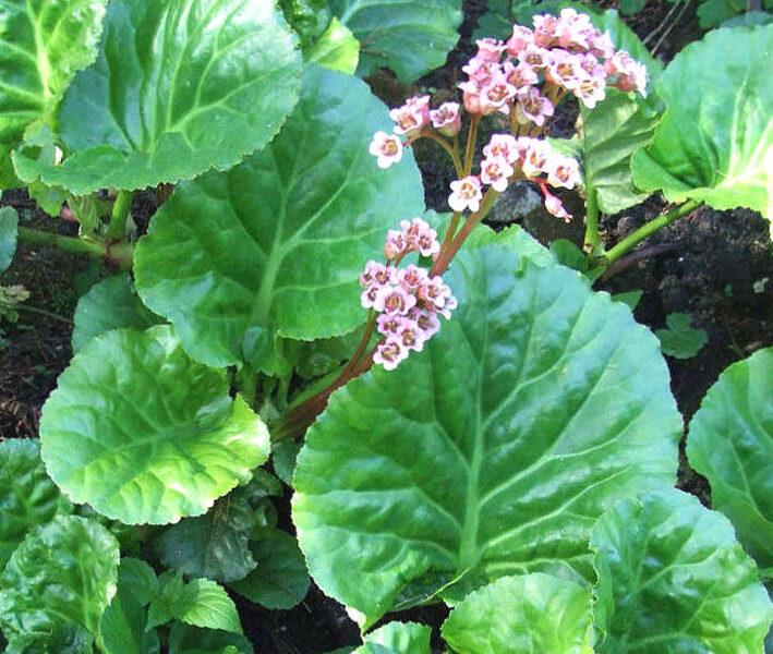 Bergēnija sirdslapu /Bergenia cordifolia/