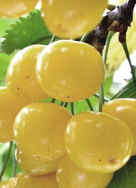 Ķirsis saldais Aleksandrs /Prunus avium/