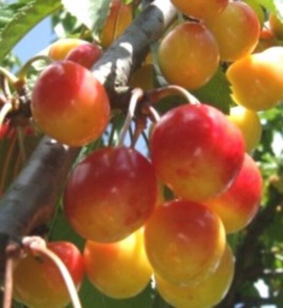 Ķirsis saldais Doņeckij 42-37 /Prunus avium/