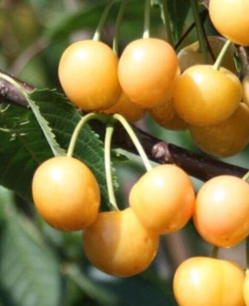 Ķirsis saldais Drogāna Dzeltenais /Prunus avium/