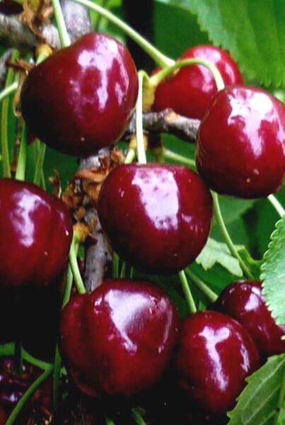 Ķirsis saldais Lapins /Prunus avium/