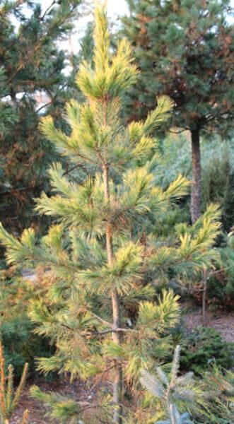 Ciedrupriede Eiropas Aurea /Pinus cembra Aurea/