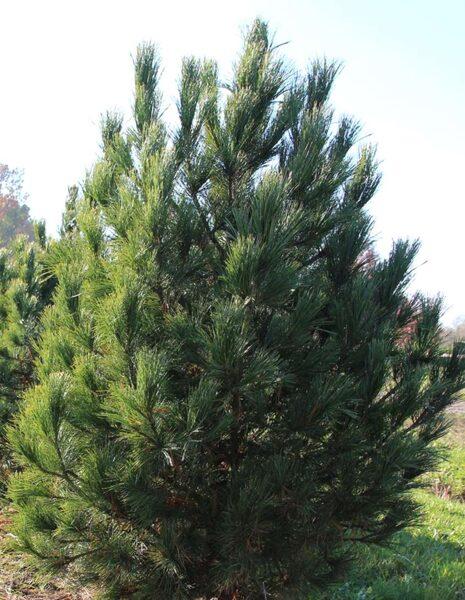 Ciedrupriede Eiropas /Pinus cembra/