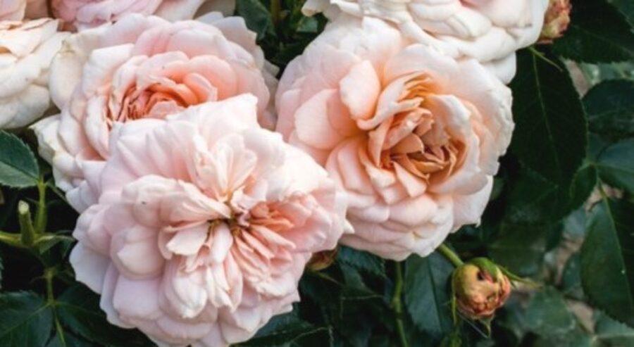 Floribundroze Cremosa /Rosa/