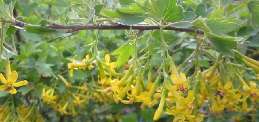 Jāņoga Zelta /Ribes aureum/