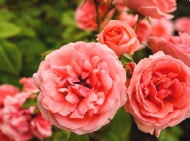 Floribundroze Kimono /Rosa/
