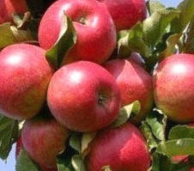 Apple Tree Arbat /Malus/