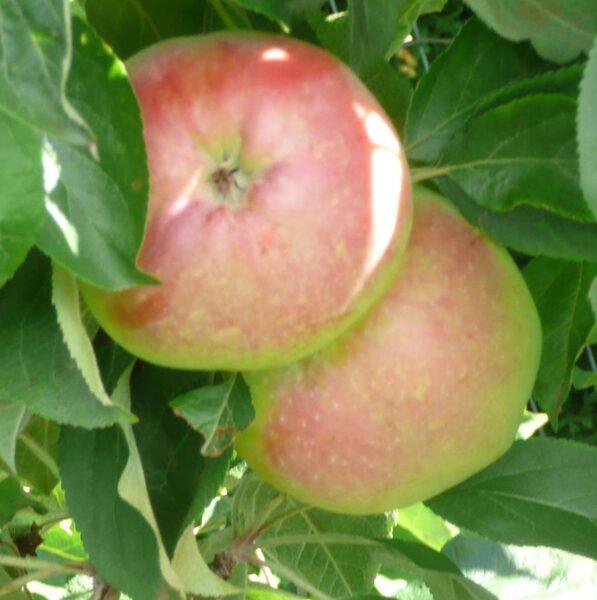 Apple Tree Baiba /Malus/