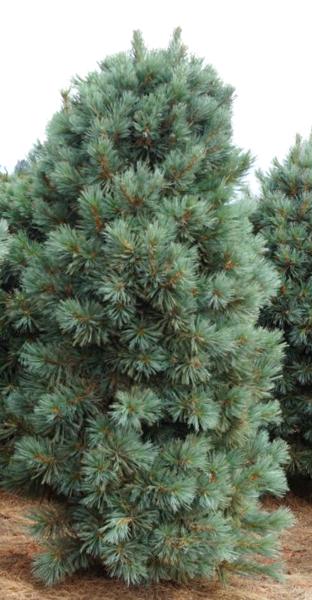 Ciedrupriede Korejas /Pinus koraiensis/