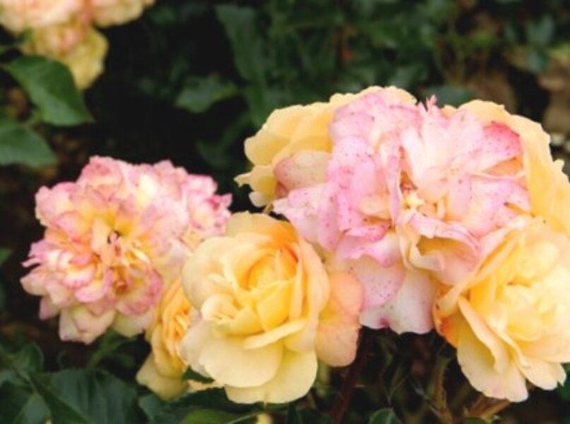 Floribundroze Lampion  /Rosa/