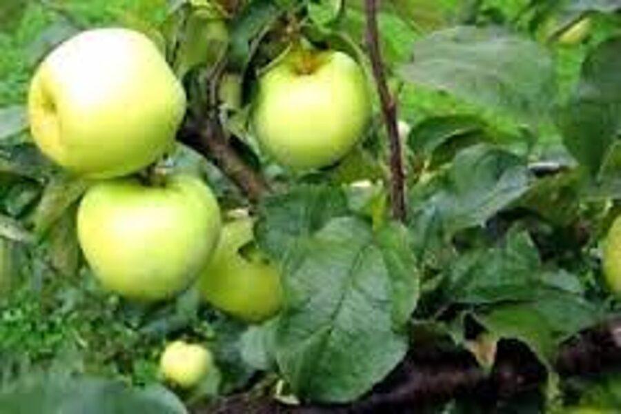 Apple Tree Antonovka /Malus/