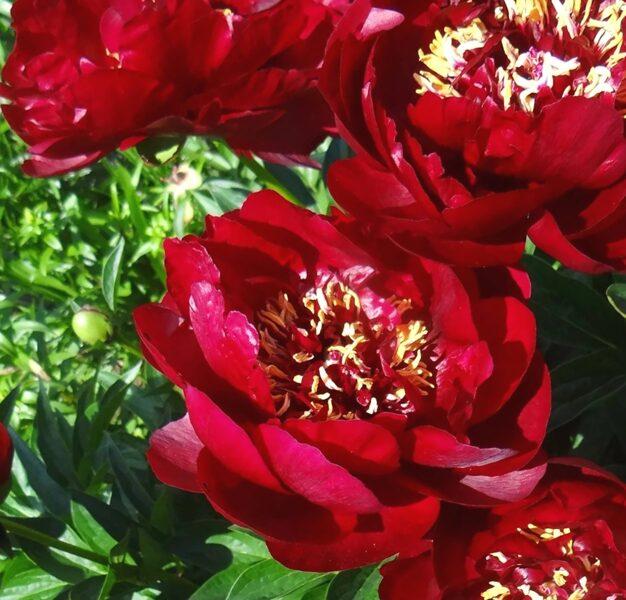Peonija hibrīdā Buckeye Belle /Paeonia hybrid/