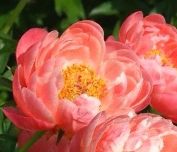 Peonija Coral Sunset /Paeonia herbaceous hybrid/