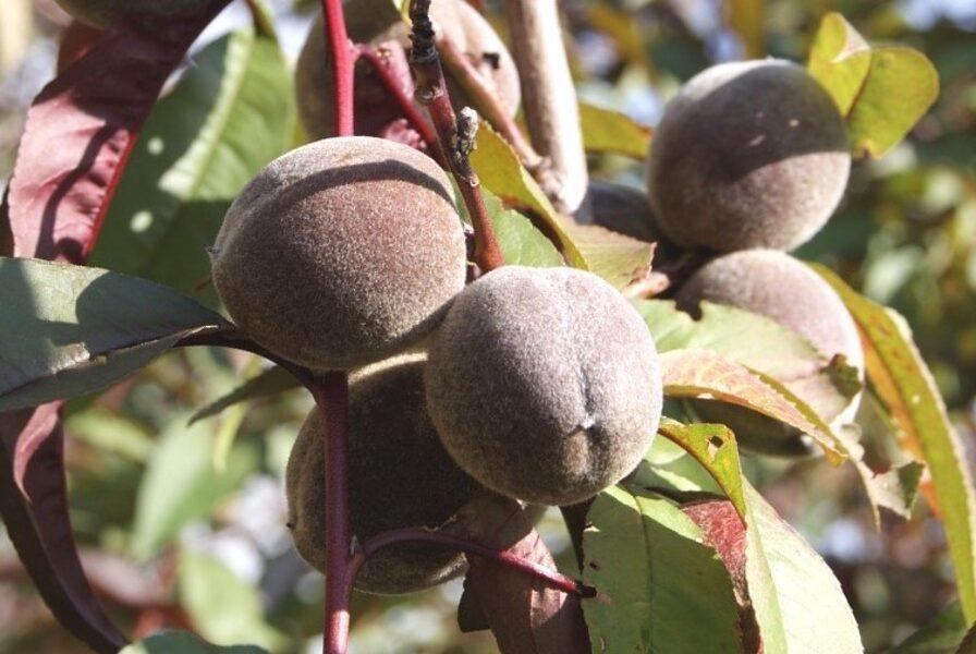 Persiks Rubira /Prunus persica Rubira/