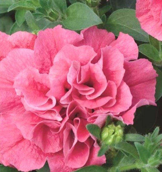 Petūnija Duo MIX (pildītiem ziediem) /Petunia multiflora /